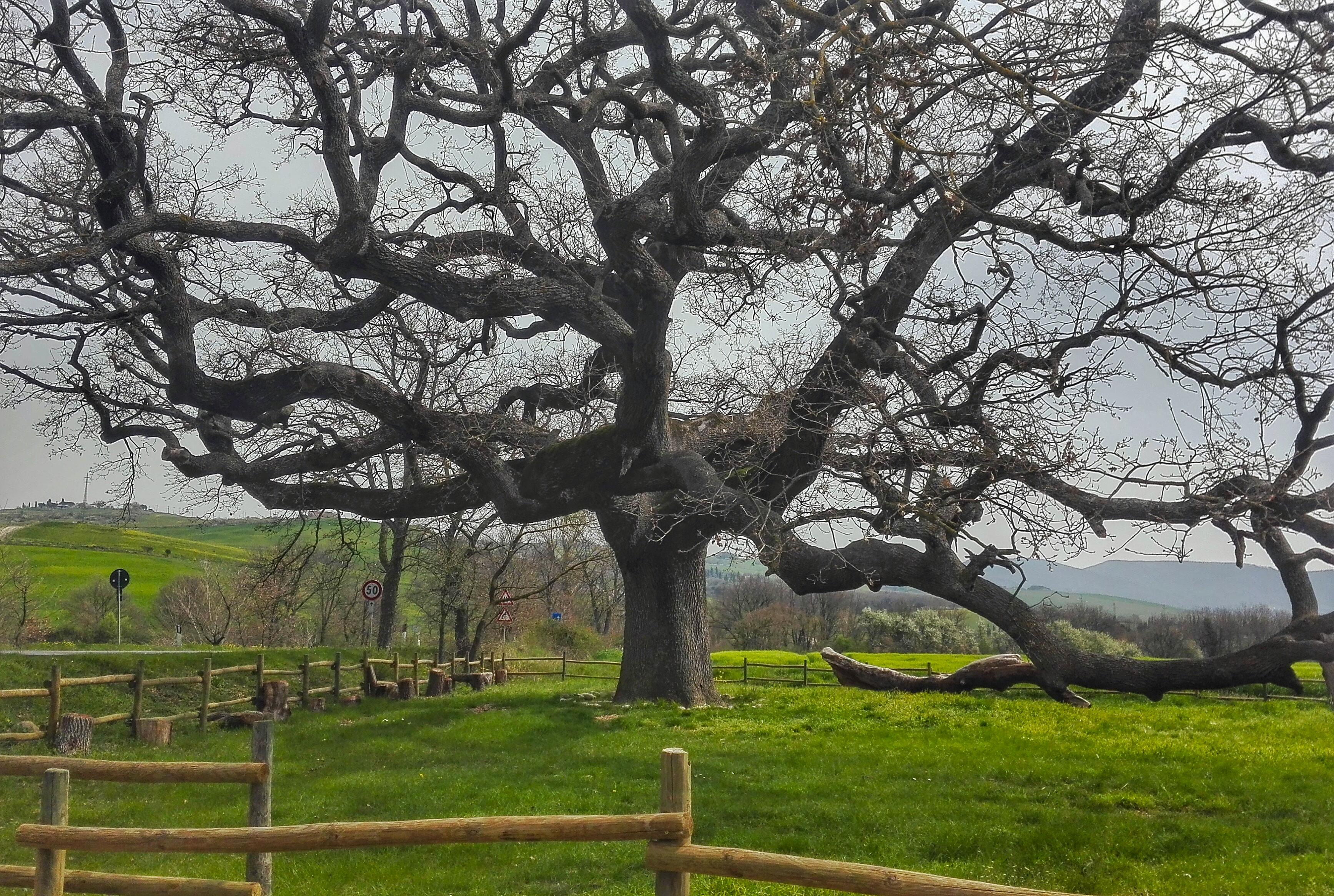 quercia delle checche