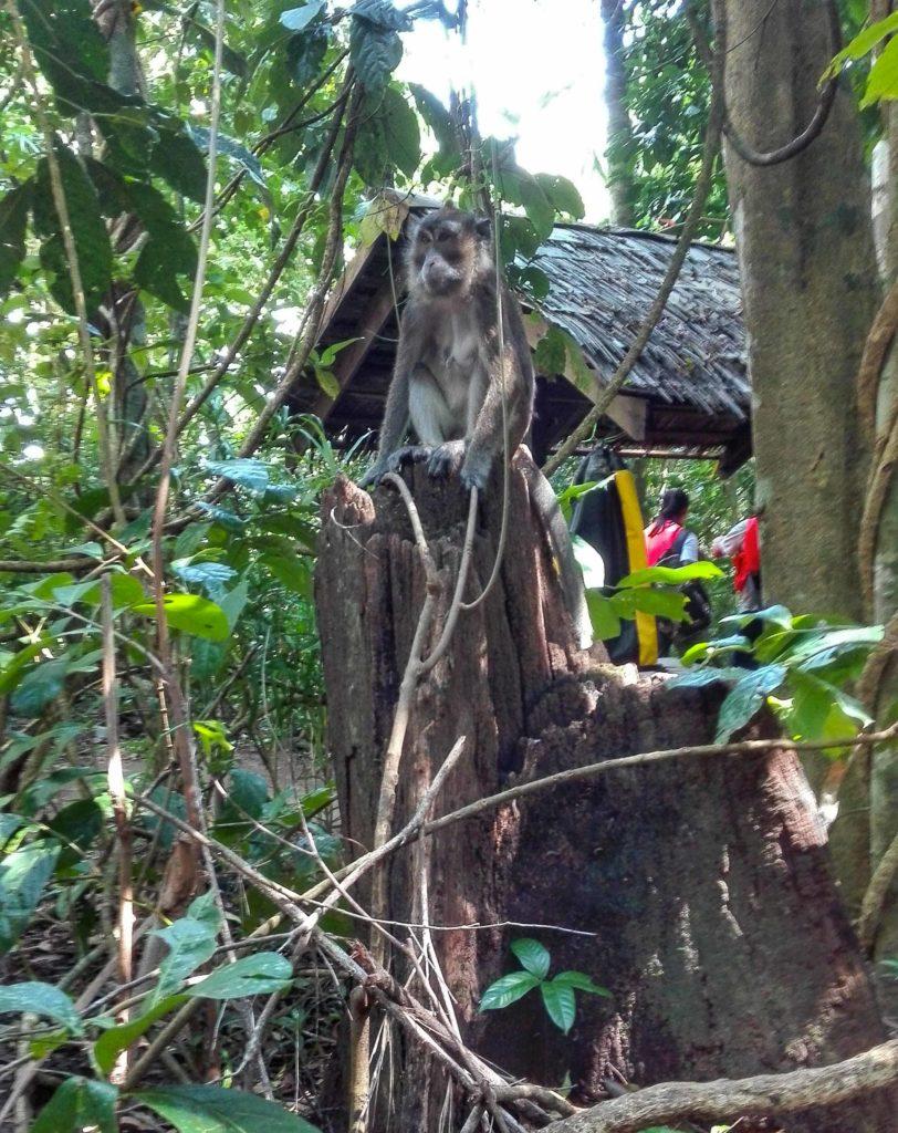 palawan filippine scimmie