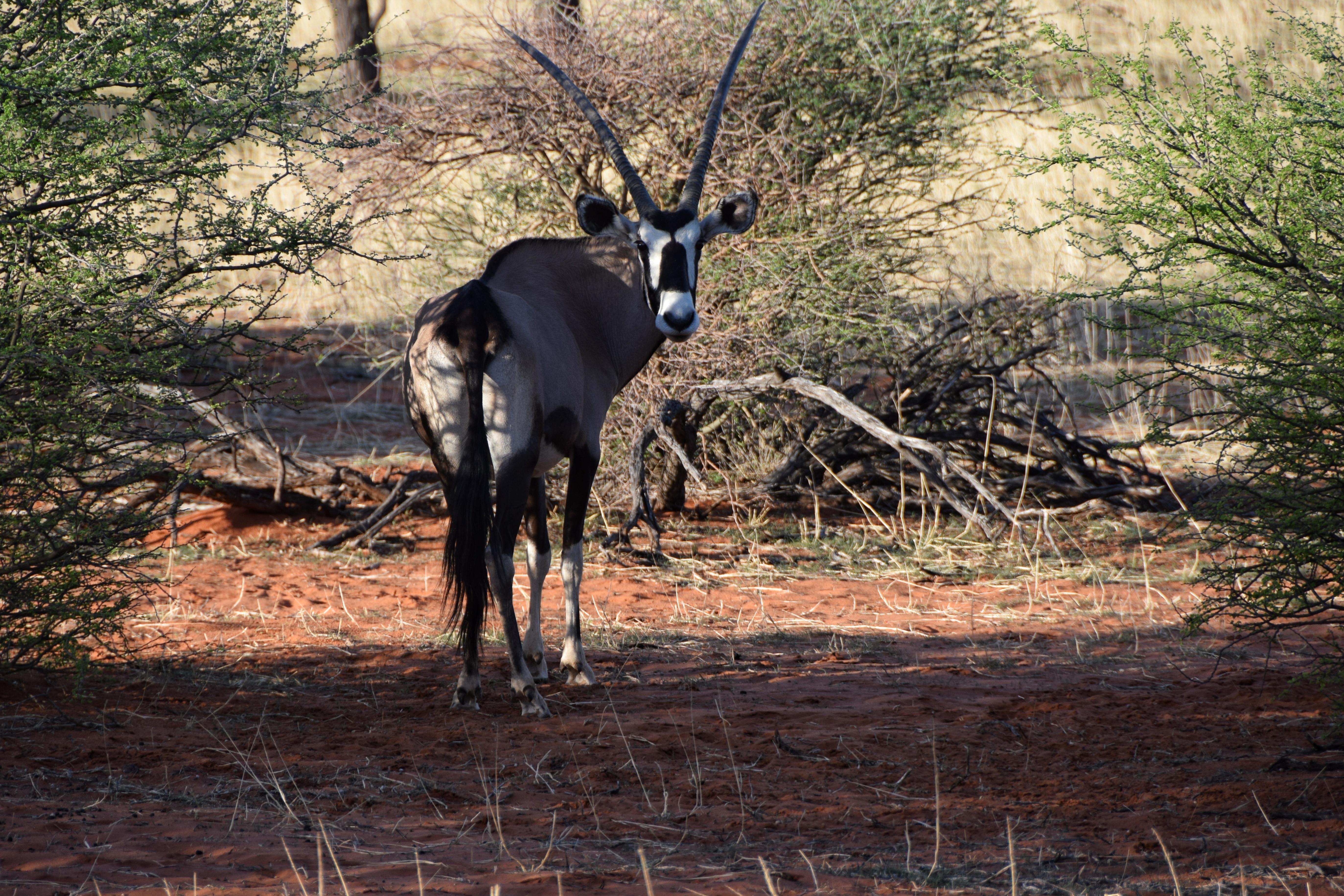 kalahari namibia deserto