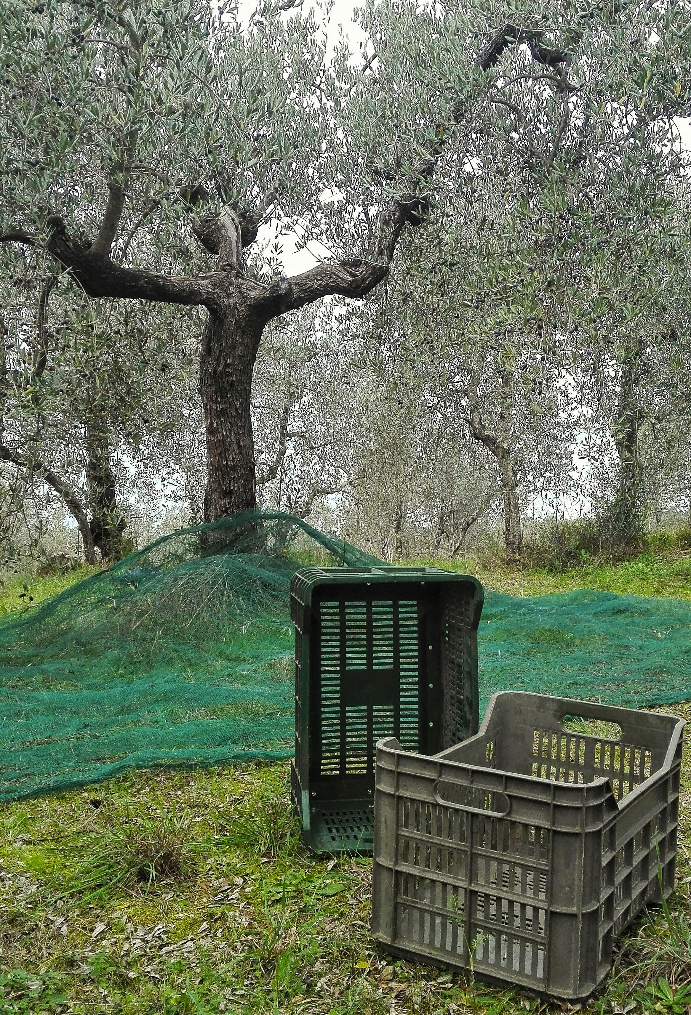 frantoio pruneti